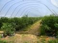 plantacja 17.07.2014r. 052.jpg