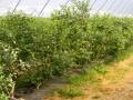 plantacja 17.07.2014r. 053.jpg